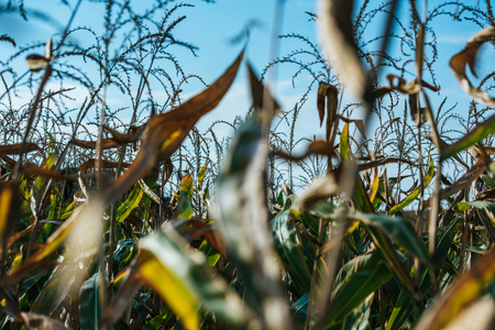 selective focus of autumnal corn field and blue sky