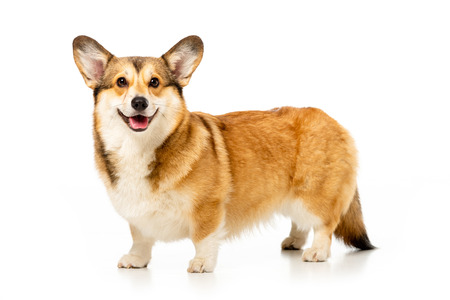 cute welsh corgi pembroke isolated on white background Stok Fotoğraf - 110961842