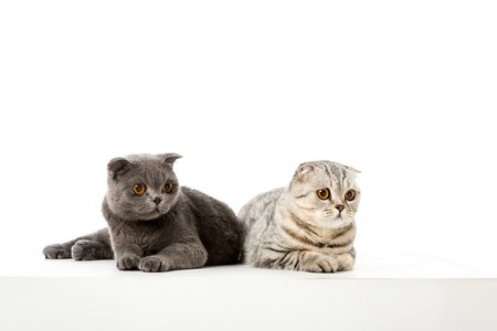 studio shot of adorable british shorthair cats laying isolated on white background Standard-Bild - 112355056