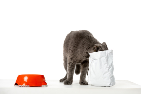 studio shot of grey british shorthair cat eating from package on white background