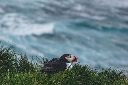 close-up shot of atlantic puffin perching on cliff covered with green grass over stormy ocean