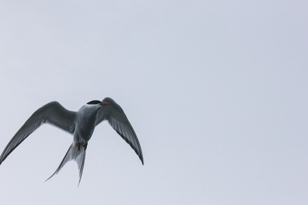 motion shot of arctic tern flying in front of grey sky