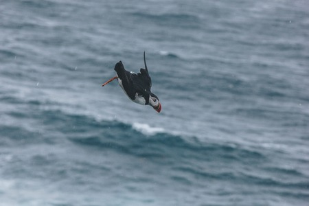 motion shot of atlantic puffin flying over stormy ocean on cloudy day
