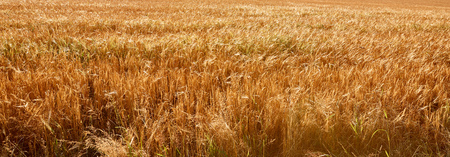 panoramic view of agricultural field with harvest in Bad Schandau, Germany Stock Photo