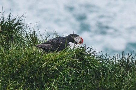 beautiful atlantic puffin perching on cliff covered with green grass over stormy ocean