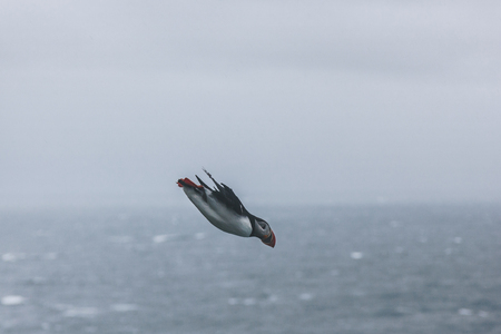 side view of beautiful atlantic puffin flying over stormy ocean on cloudy day Banque d'images - 109886093