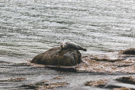 cute little seal relaxing on rock in sea
