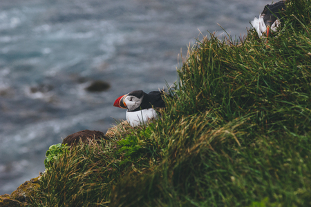 atlantic puffin perching on cliff covered with green grass over ocean