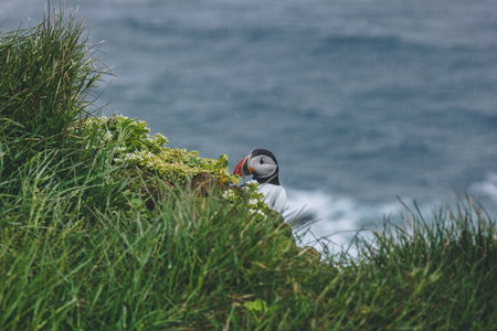 beautiful atlantic puffin on green cliff over stormy ocean Stok Fotoğraf