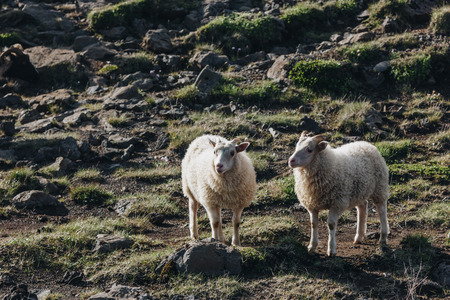 scenic view of sheep grazing in beautiful meadow in Iceland Banco de Imagens
