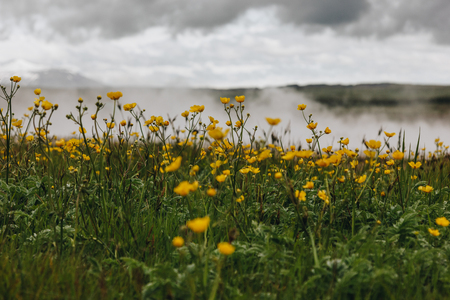 meadow with yellow buttercups and steam under cloudy sky in Iceland Stock Photo