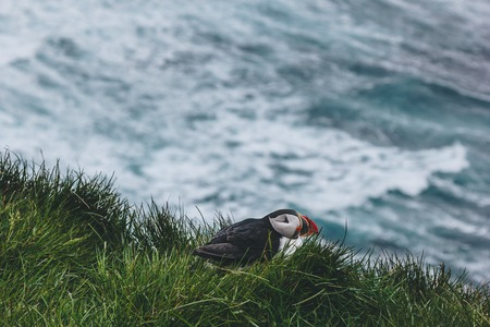 cute atlantic puffin perching on cliff covered with green grass over stormy ocean