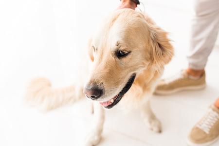 cropped view of man stroking funny golden retriever dog Фото со стока