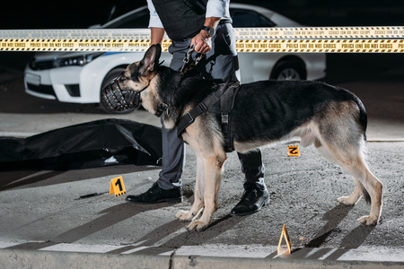 cropped image of policeman holding alsatian dog on leash near cross line at crime scene with corpse in body bag