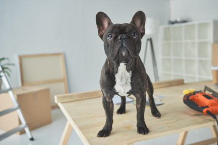 Adorable black french bulldog standing on wooden table in new home