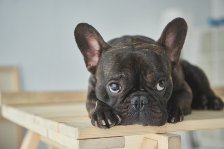 Close-up view of adorable black french bulldog lying on wooden table 스톡 콘텐츠