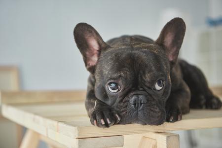 Nahaufnahme der entzückenden schwarzen französischen Bulldogge, die auf einem Holztisch liegt?