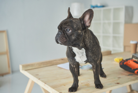 Adorable black french bulldog standing on wooden table and looking away