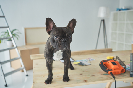 Adorable french bulldog standing in wooden table with tools Reklamní fotografie