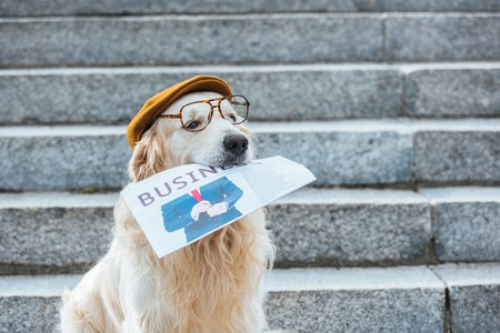 retriever dog in cap and eyeglasses holding business newspaper Imagens