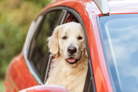 cute funny retriever dog sitting in red car and looking at camera through window Archivio Fotografico