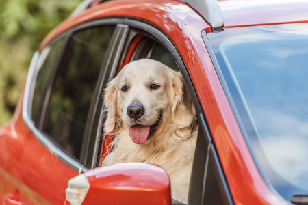 beautiful golden retriever dog sitting in red car and looking at camera through window Фото со стока