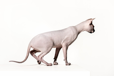 side view of beautiful sphynx cat looking away isolated on white Stock Photo