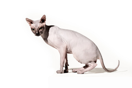 adorable domestic sphynx cat looking at camera on white Stock Photo