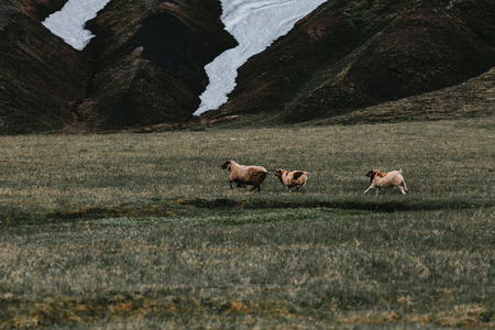 Sheep grazing on grass of pasture and mountains with snow behind, Iceland 写真素材