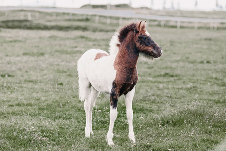 Adorable little foal standing on green pasture in Iceland