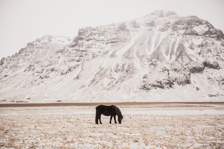 Beautiful black horse grazing on snow-covered pasture in Iceland