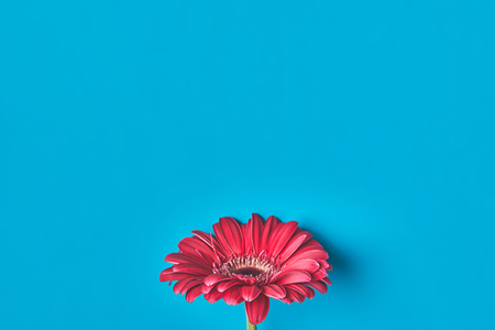 Top view of single Gerbera flower on blue, mothers day concept 写真素材