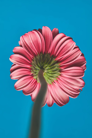 Close-up shot of Gerbera flower on blue background, mothers day concept