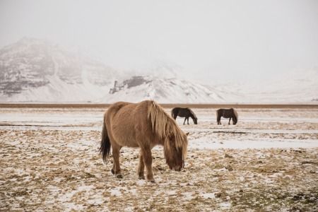 Beautiful horses grazing on snow-covered pasture in Iceland 写真素材