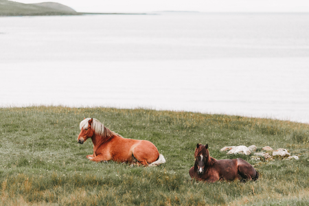 Beautiful horses lying on green grass near ocean in western Iceland