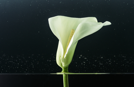 Close-up view of beautiful tender white calla lily flower in water on black background Zdjęcie Seryjne