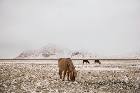 Beautiful Icelandic horses grazing on snow-covered pasture