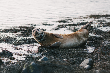 Sea lion lying on coast with rocks and seaweeds in Ytri Tunga, Iceland