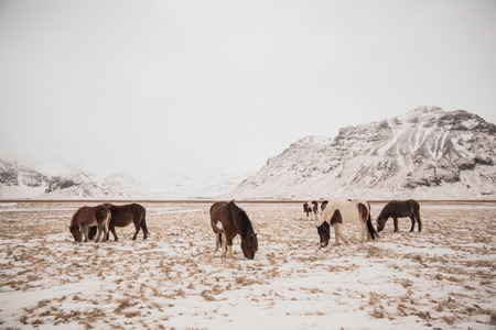 Beautiful Icelandic horses grazing in snow-covered landscape
