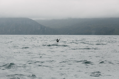 Tail of whale above water and beautiful mountains in fog at horizon, Husavik, Iceland