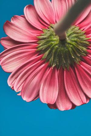 Close-up shot of beautiful Gerbera flower on blue background, mothers day concept
