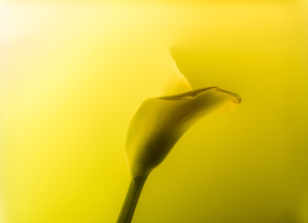 Close-up view of beautiful calla lily flower in abstract yellow paint background