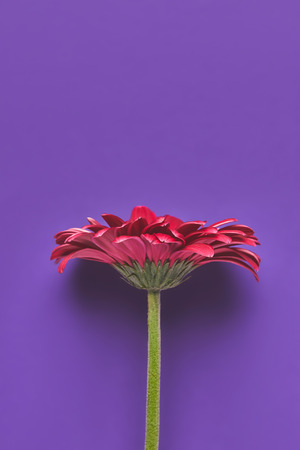 Top view of beautiful single Gerbera flower on purple background, mothers day concept