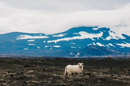 Beautiful furry sheep standing on rocky pasture and beautiful snow-covered mountains behind 写真素材