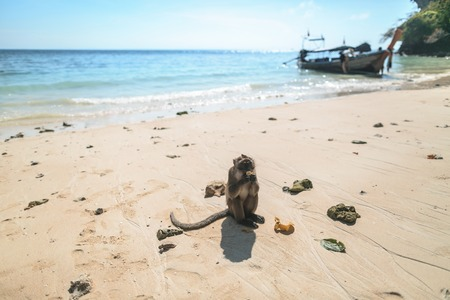 Close up view of monkey eating banana on beach