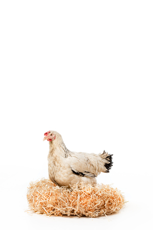 white hen sitting on nest with eggs isolated on white Reklamní fotografie