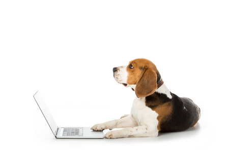 side view of adorable beagle dog with laptop isolated on white 写真素材