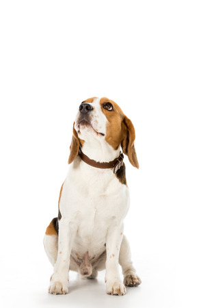cute beagle dog in collar looking away isolated on white Stockfoto