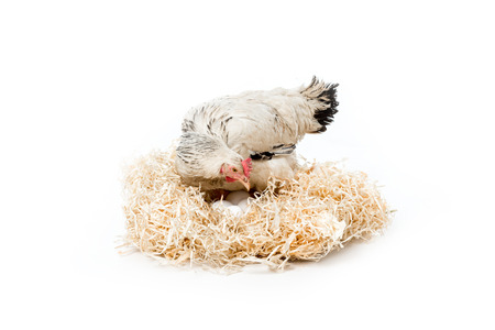 hen sitting on nest with eggs isolated on white Stockfoto