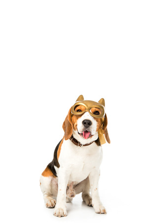 adorable beagle dog in golden mask sticking tongue out isolated on white